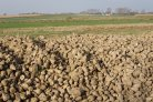 Sugar beet leaves for functional ingredients